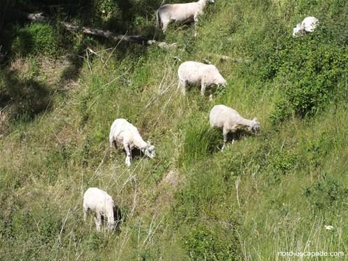 Moutons arpentant les coteaux de Wavrans-sur-l'Aa