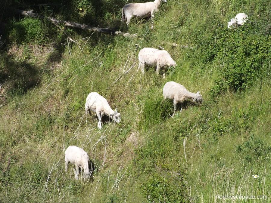 Les moutons du coteau